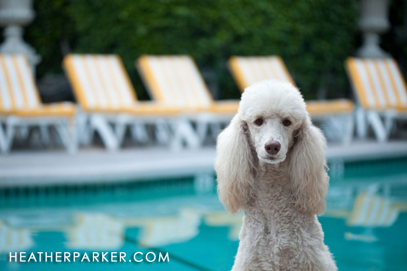 hannah the poodle at the viceroy
